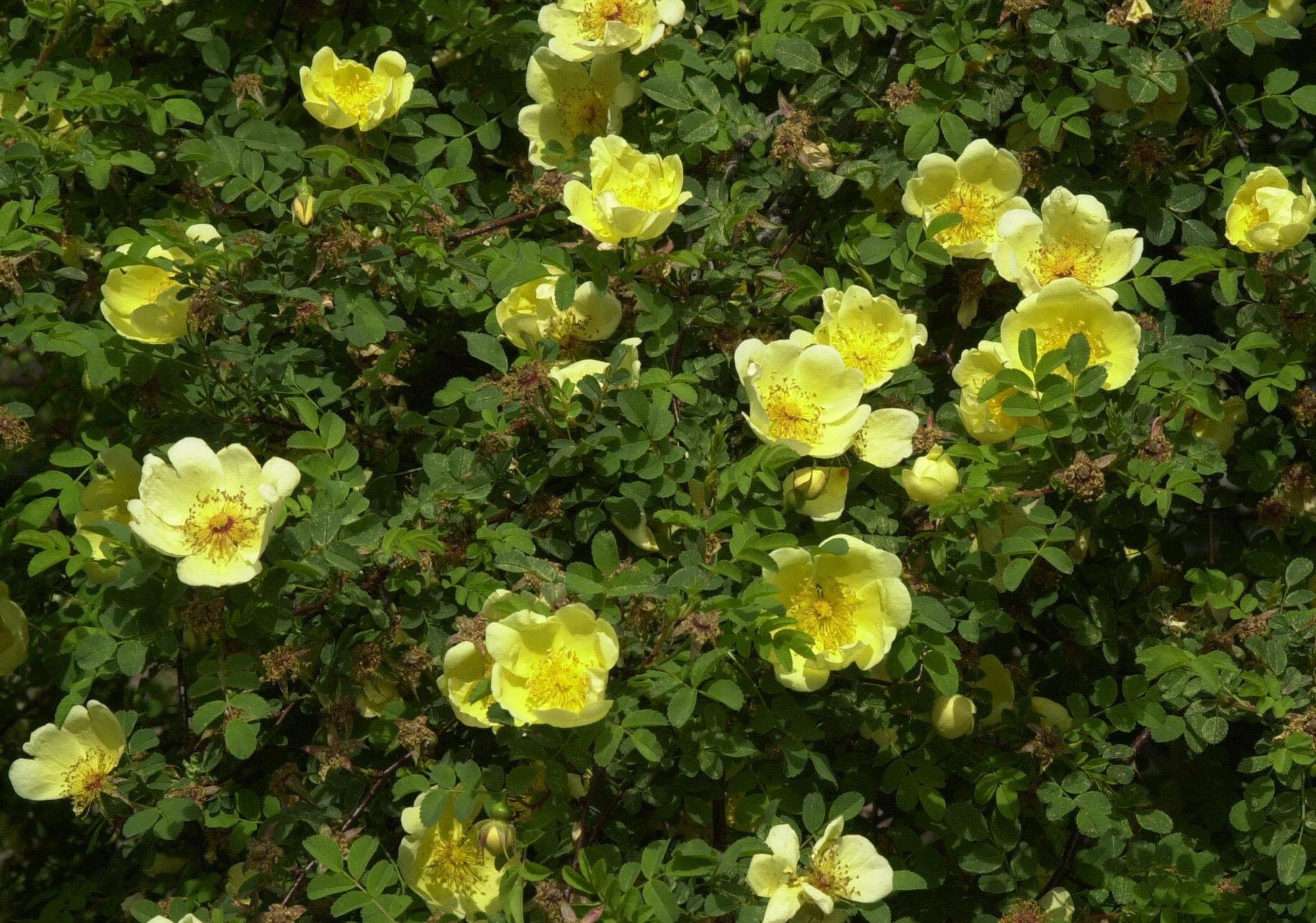 pflanzen kaufen rosen pflanzen sortiment gartenwelt. Black Bedroom Furniture Sets. Home Design Ideas
